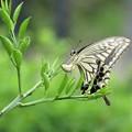 アゲハチョウ産卵_5702