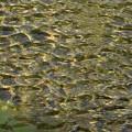 川の波紋_3598