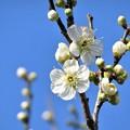 写真: 緑白梅開花_3672