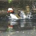 写真: オシドリ水浴び_3609