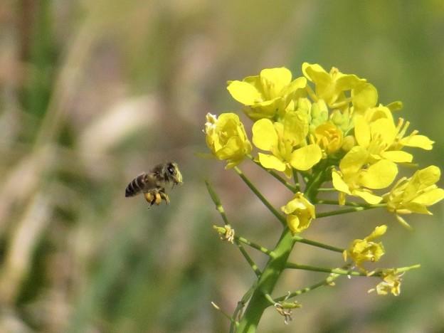 蜜蜂&菜の花_3892
