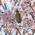 写真: 桜メジロ(実家)_4709