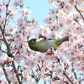 写真: 桜メジロ(実家)_4713