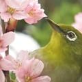 桜メジロ_4783