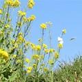 菜の花&モンシロチョウ_4799