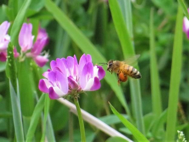 蜜蜂&レンゲソウ花_5915