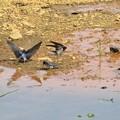 写真: ツバメ巣材運び_6121