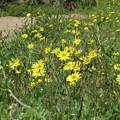 ジシバリ花咲く畦道_6169