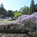 Photos: 藤(西寒多神社)_6248