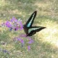 写真: アオスジアゲハ&西洋桜草(庭)_6563