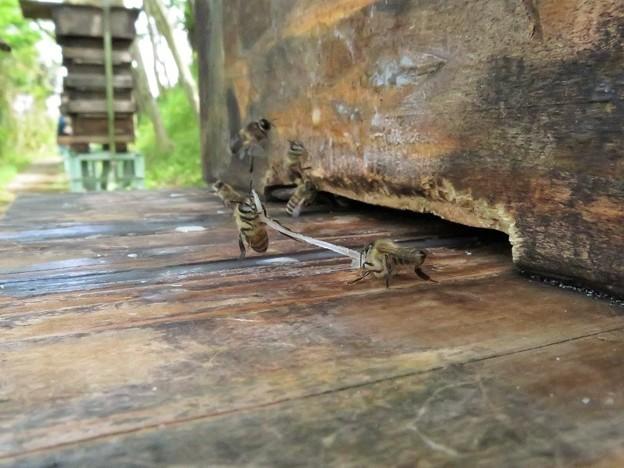 日本蜜蜂の綱引き_6701