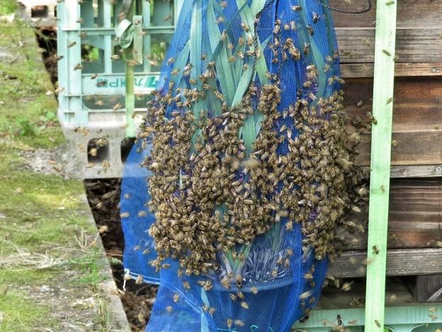日本蜜蜂_6872