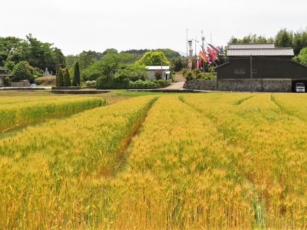 麦畑&鯉のぼり_7149