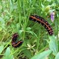 ツマグロヒョウモンの幼虫_7732