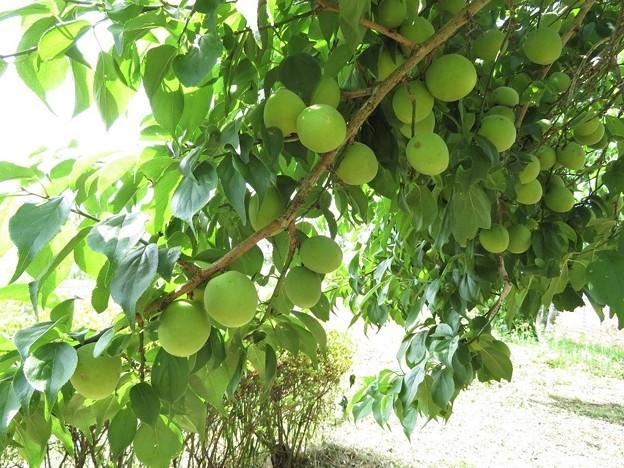 梅収穫_8264