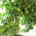 写真: 梅収穫_8264