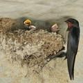 ツバメ子育て(実家)_8735