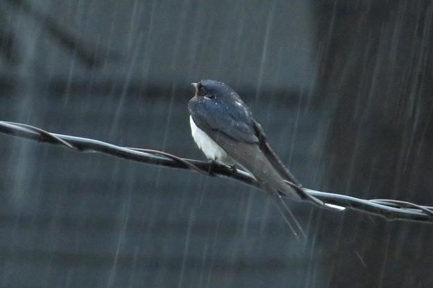 写真: 雨ツバメ_8814