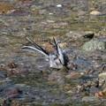 写真: セグロセキレイ水浴び_8972