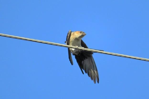 コシアカツバメ幼鳥_9467