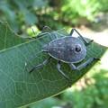 クサギカメムシ幼虫_9618
