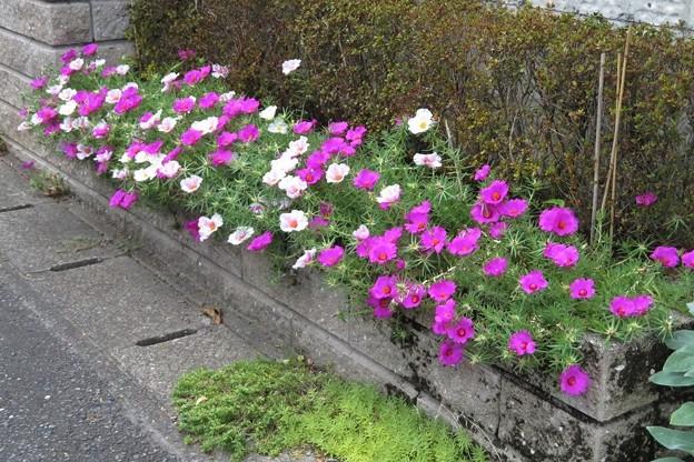 庭の花マツバボタン_0321
