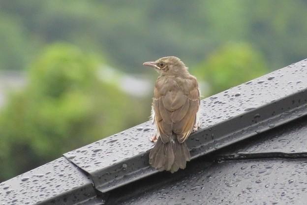 ヒヨドリ幼鳥_1486