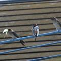 コシアカツバメ幼鳥_2171