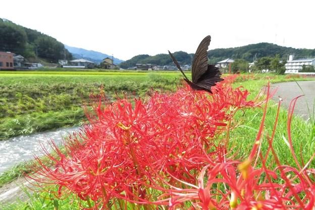 ナガサキアゲハ♂_2313