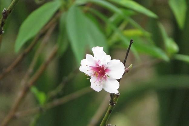 アーモンド狂い咲き_2566