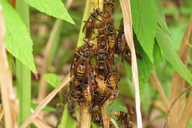 セグロアシナガバチの集団_2595
