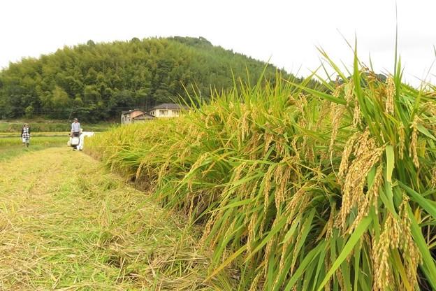 稲刈り(実家)_2849