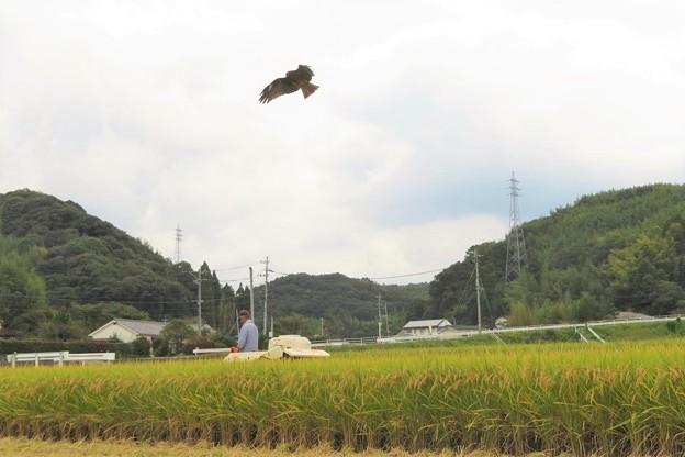 写真: 稲刈り&トビ_2854