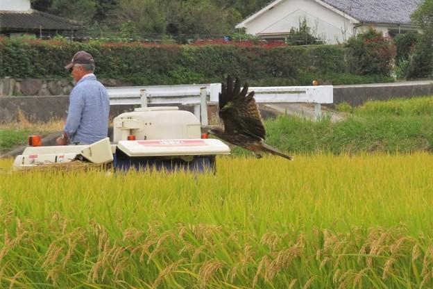写真: 稲刈り&トビ_2856