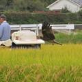 稲刈り&トビ_2856