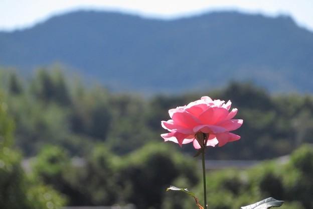 ピンクのバラ_3116