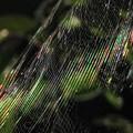 写真: 虹色蜘蛛の巣_3245