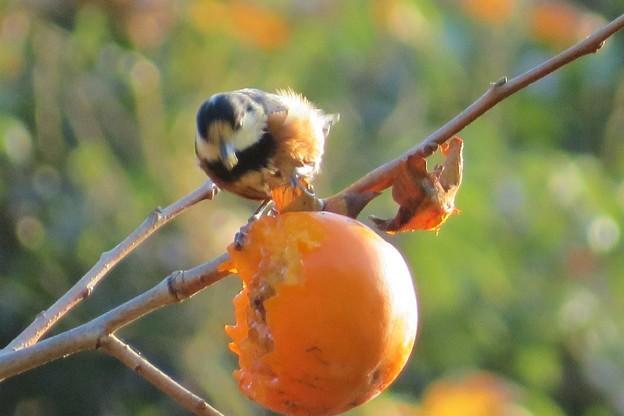 柿を食うヤマガラ_4056