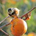 写真: 柿を食うヤマガラ_4056
