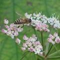 蜜蜂_4170