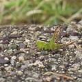 ホシササキリ♀の幼虫(庭)_4377