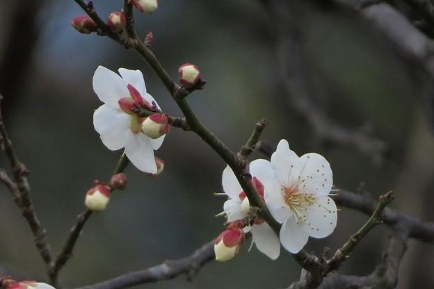 白梅開花_5326