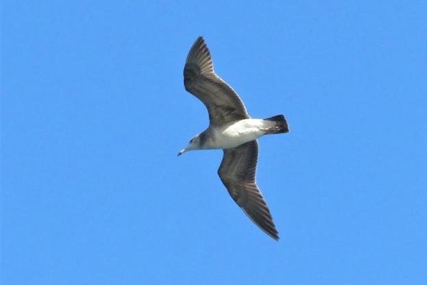ウミネコ幼鳥_6073