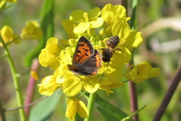 ベニシジミ、蜜蜂&菜の花_6200
