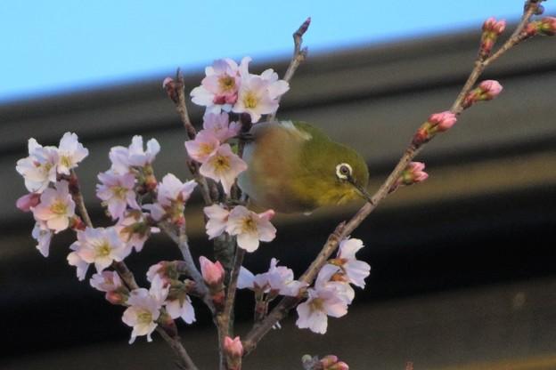 彼岸桜メジロ_8056