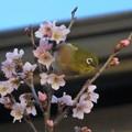 Photos: 彼岸桜メジロ_8056