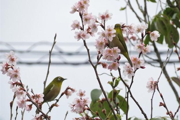 Photos: 彼岸桜メジロ_8248