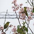 彼岸桜メジロ_8248