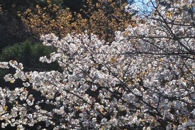 山桜3満開_8468