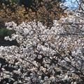 Photos: 山桜3満開_8468